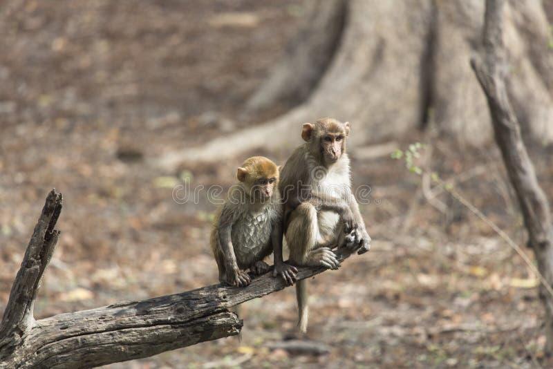 Deux singes d'âge différent photos libres de droits