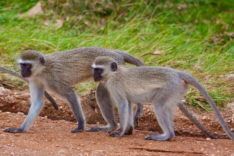 Deux singes de vervet image stock