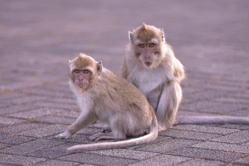 Deux singes des Îles Maurice photos libres de droits