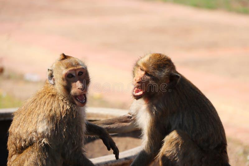 Deux singes jouent vilain sur la cuvette ovale large de l'eau de poterie de bouche images libres de droits
