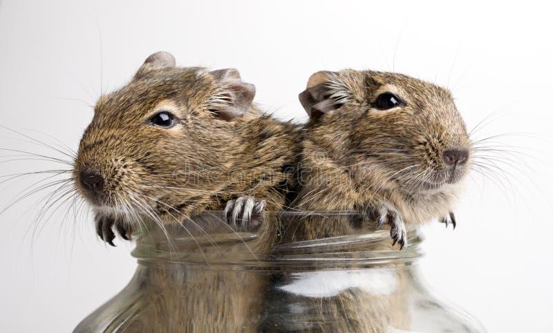 Deux souris dans le pot image stock