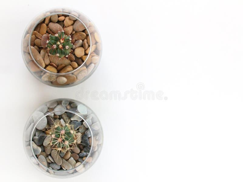 Deux succulents de cactus, plassels, couverts de stonented en verre VE photographie stock libre de droits