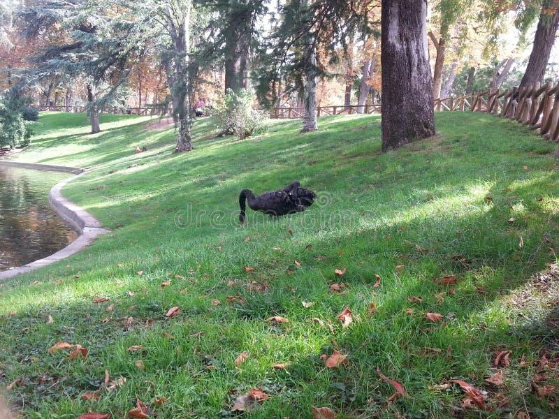 Deux swams noirs chez Parque Retiro- Madrid photo libre de droits