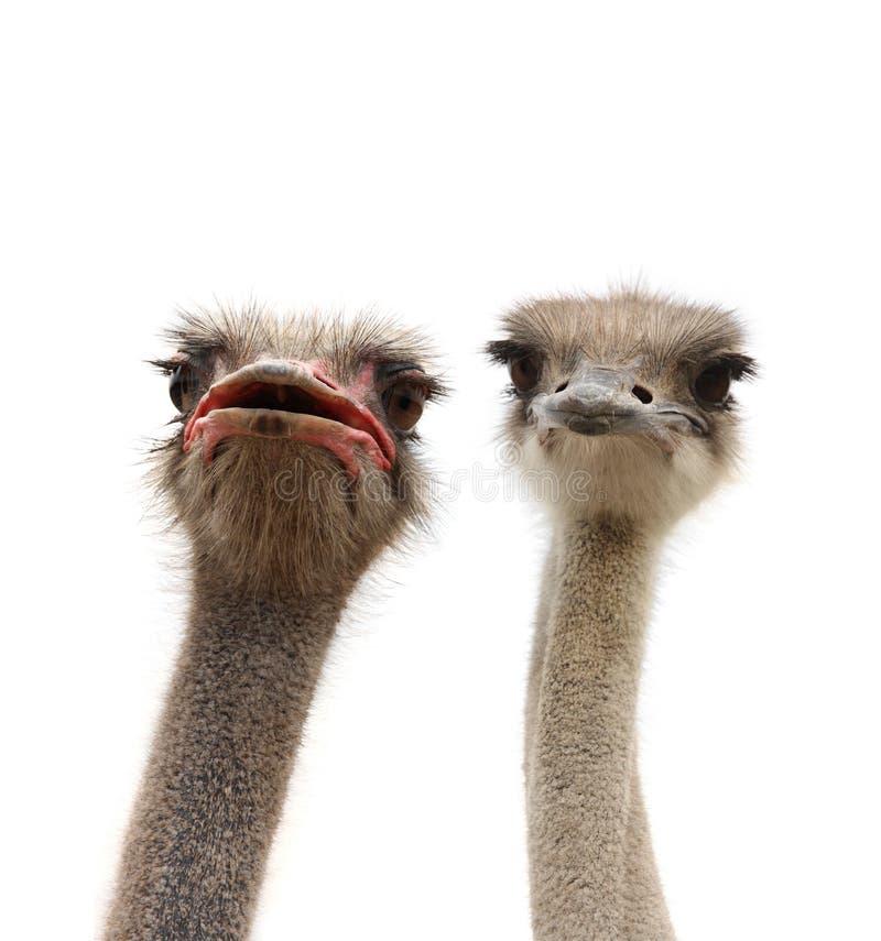 Deux têtes d'autruches d'isolement photo libre de droits
