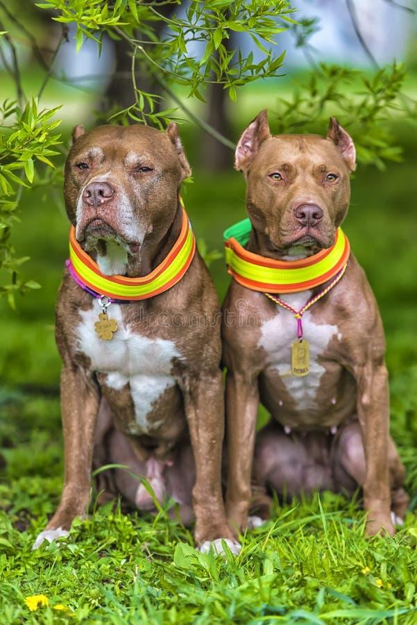 Deux terriers de pitbull bruns ensemble images libres de droits