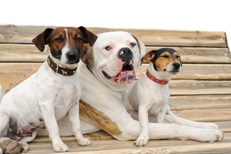 Deux terriers de Russel de cric et bouledogue américain photo stock