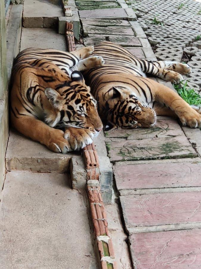 Deux Tigres du Bengale dorment ensemble photographie stock