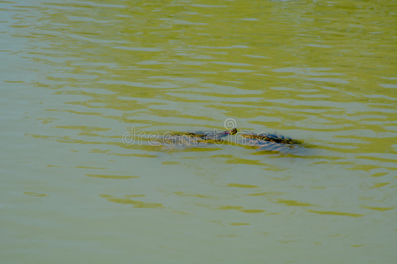 Deux tortues photo stock