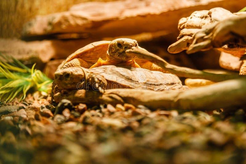 Deux tortues de Sulcata joignant une lampe rouge photographie stock