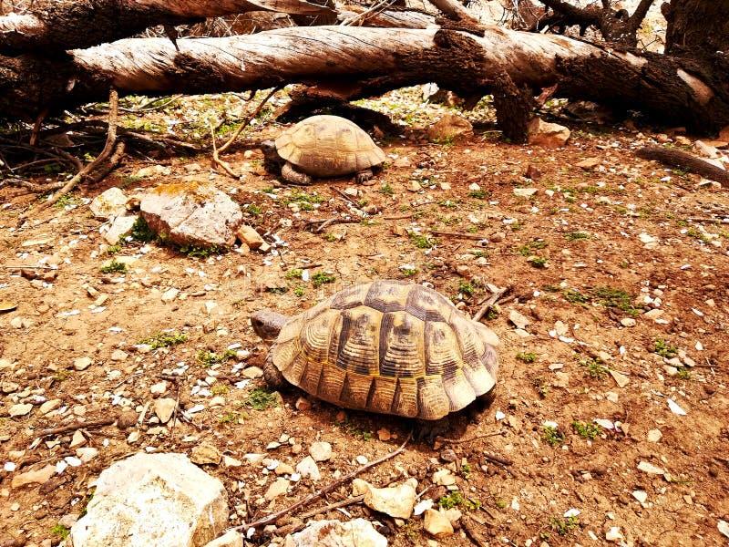 Deux tortues marchent photos stock