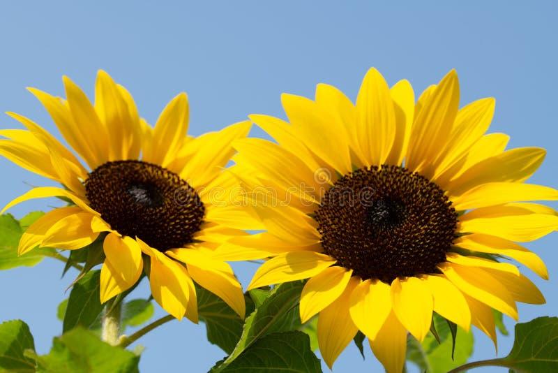 Deux tournesols contre un ciel bleu lumineux image libre de droits