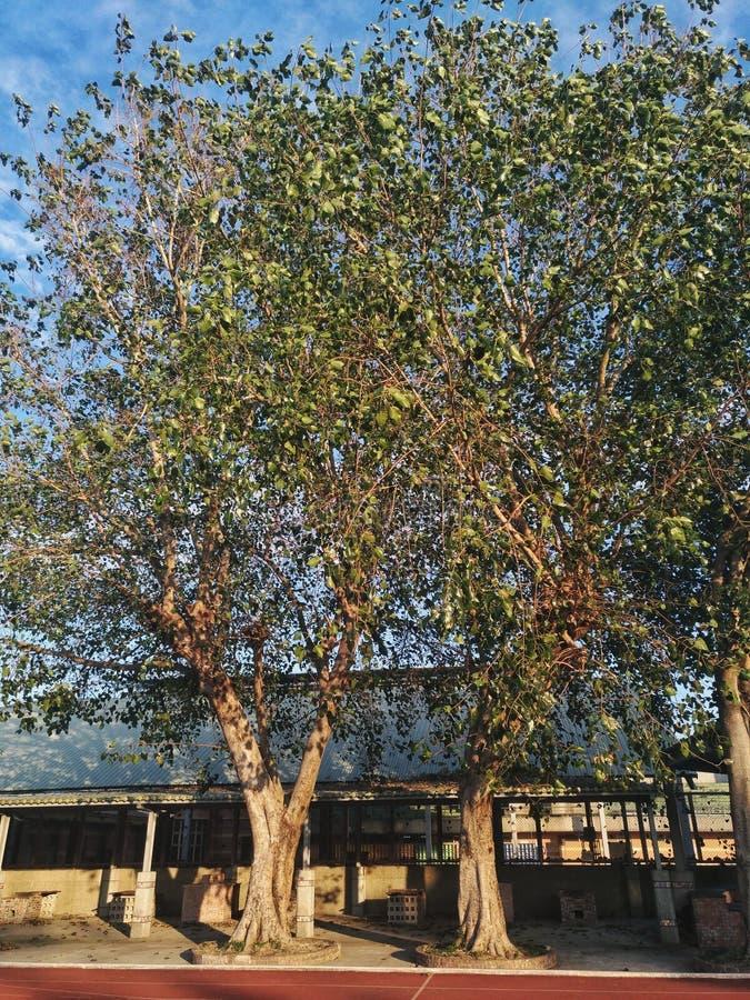 Deux très vieux et arbres grands se tiennent sur la piste du terrain de jeu dans une école images libres de droits