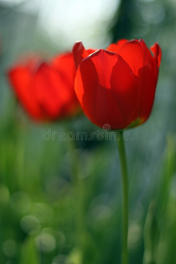 Deux tulipes rouges images stock