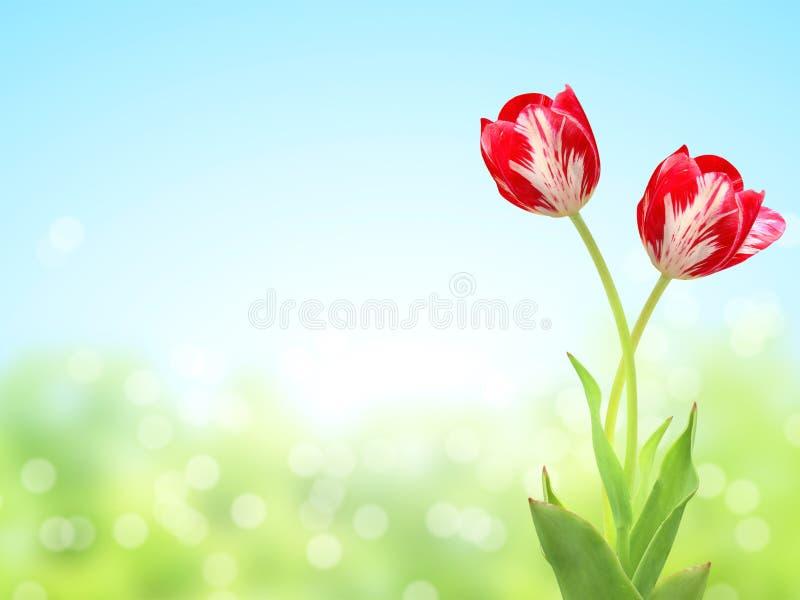 Deux tulipes sur le fond ensoleill? de ressort photos libres de droits