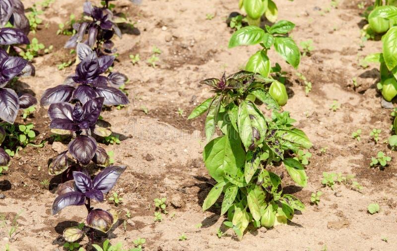 Deux types de basilic frais verts et pourpres images stock