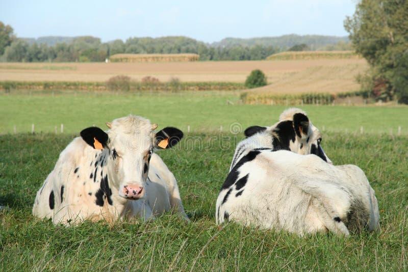 Deux vaches photos stock