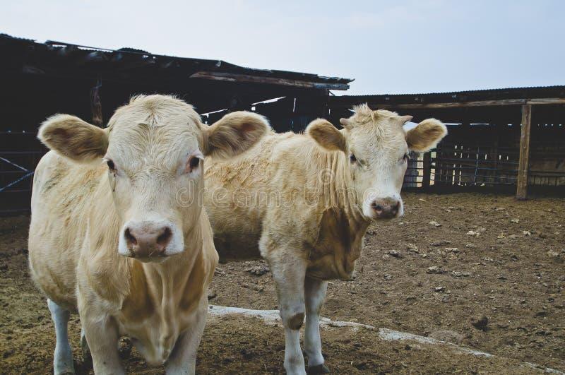 Deux vaches blanches jumelles dans la vieille ferme sale photos libres de droits