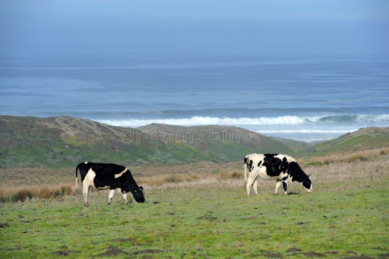 Deux vaches laitières frôlant par l'océan image libre de droits