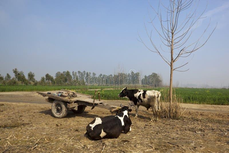 Bétail et chariot de Punjabi photos libres de droits