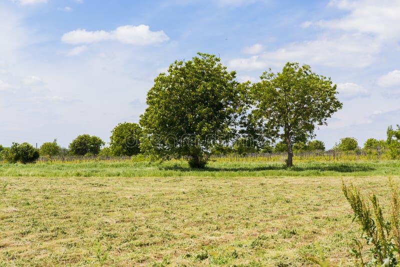 Deux vieux arbres d'écrou dans un domaine d'agriculture image stock