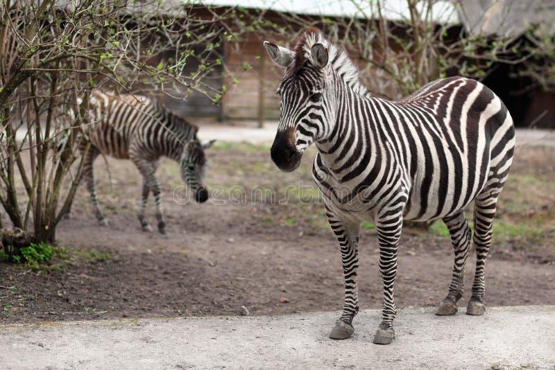 Deux zèbres au jardin zoologique photographie stock libre de droits