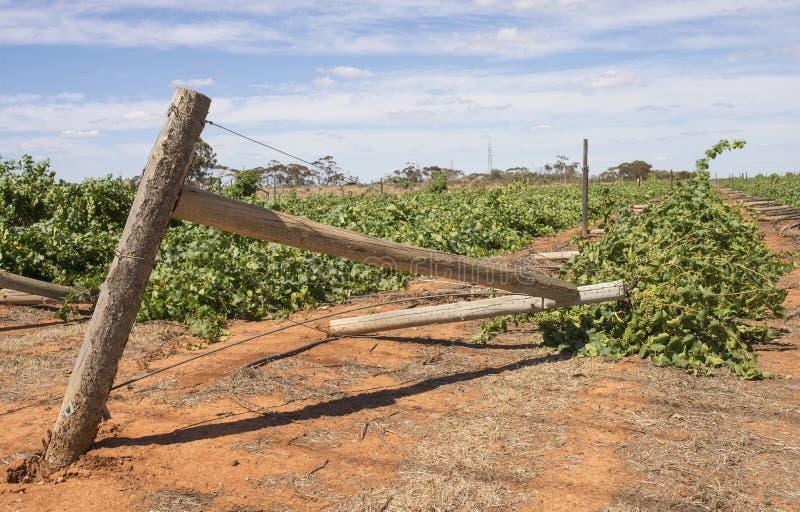Devastation of Vineyard, Mildura, Australia. Rows of chardonnay grapevines flattened after a severe wind storm lashed vineyards in Mildura, Australia on stock photos