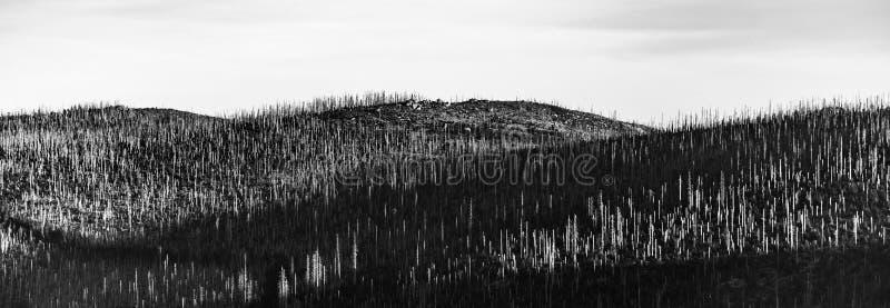 Devasted las w caues korowatej ścigi infestation Sumava park narodowy i Bawarski las, republika czech i fotografia stock