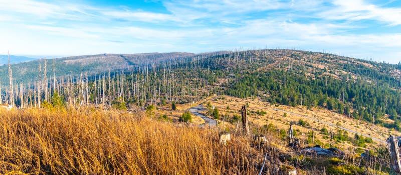 Devasted las w caues korowatej ścigi infestation Sumava park narodowy i Bawarski las, republika czech i obraz stock