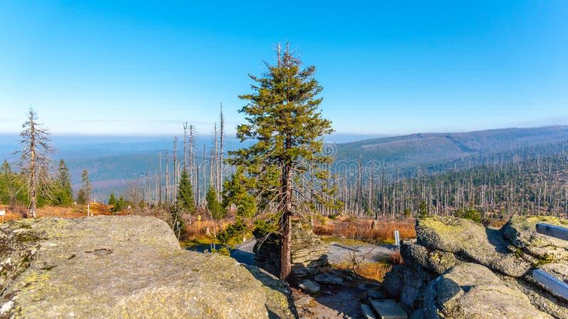 Devasted las w przyczynie korowatej ścigi infestation Sumava park narodowy i Bawarski las, republika czech i obraz stock
