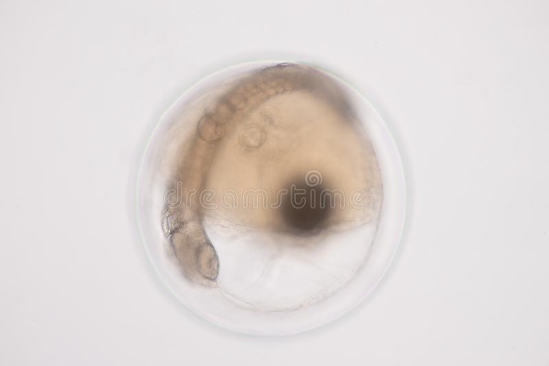 Developing fish egg under microscope view stock photography