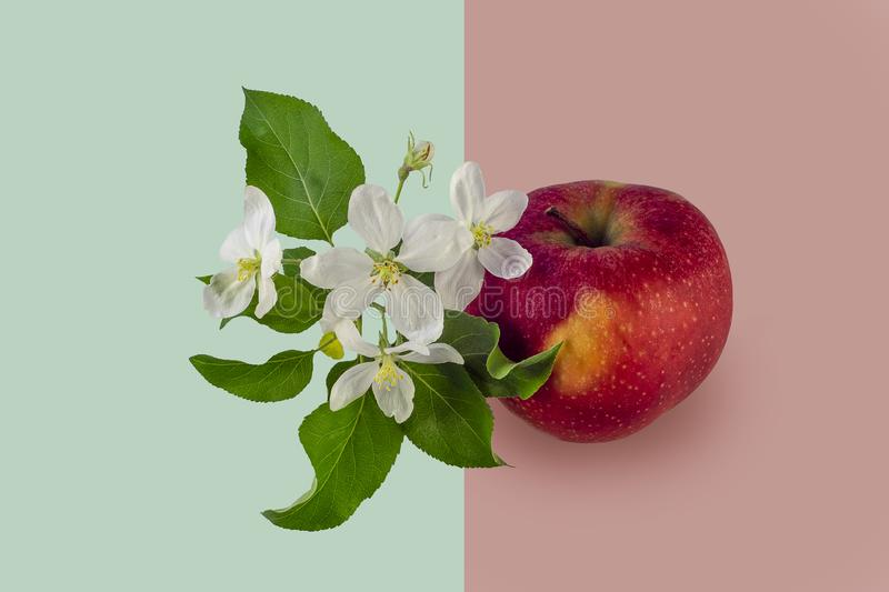 The development of apple trees, from flower to fruit. stock photography