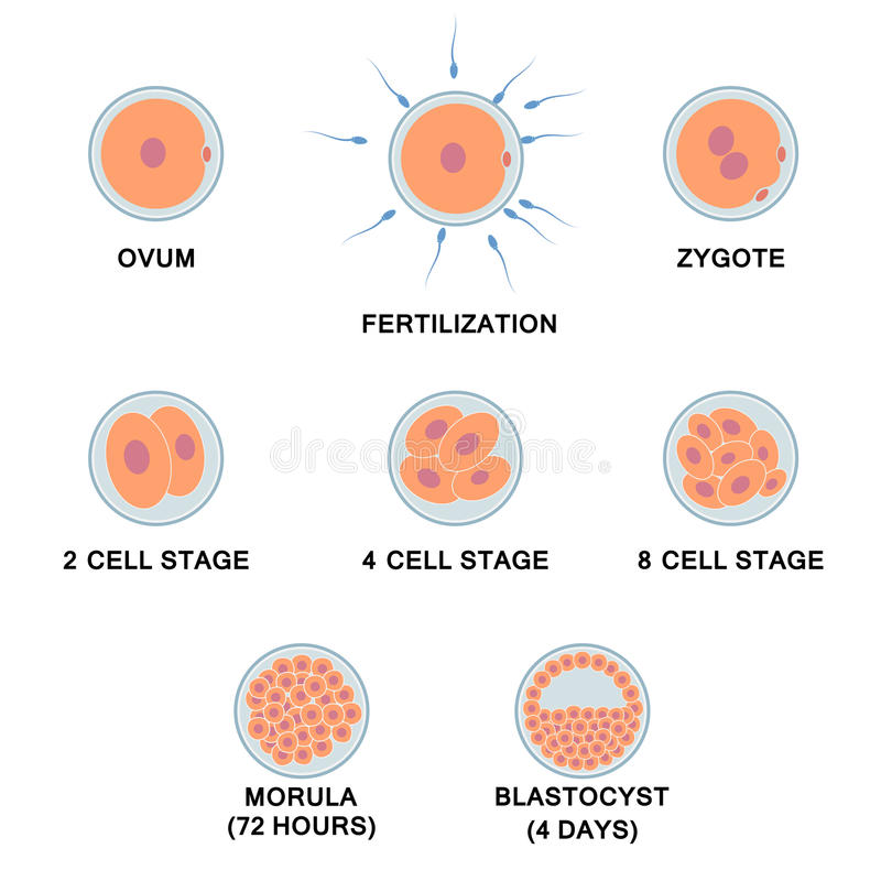 Development of the human embryo. vector illustration