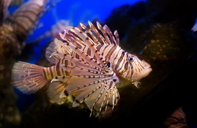 Download Devil fish stock image. Image of poisonous, lion, life - 5329521