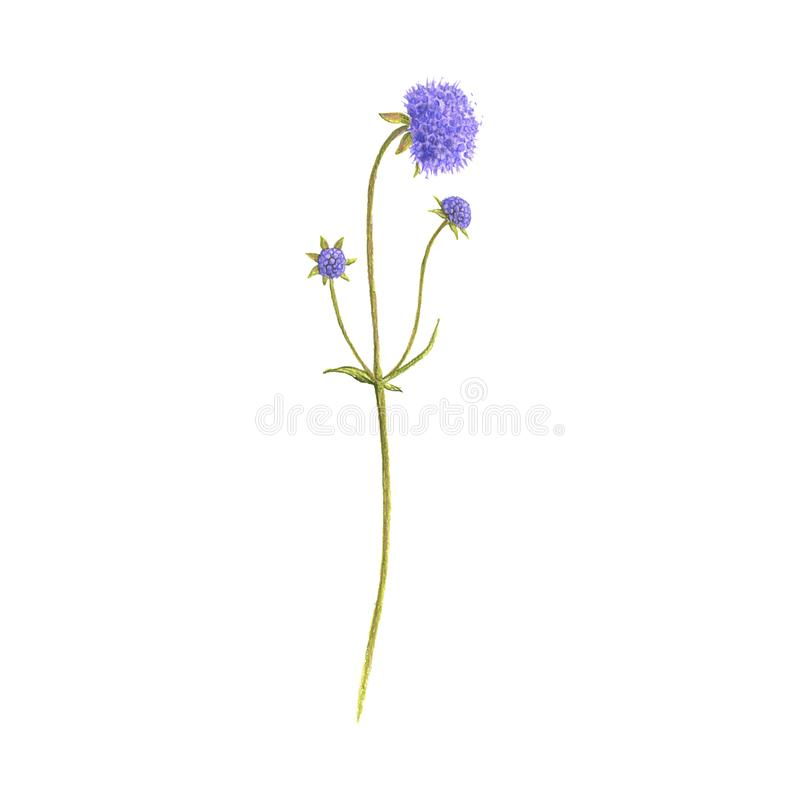 Devil`s-bit scabious flower, drawing by colored pencils. Succisa pratensis, hand drawn illustration stock images
