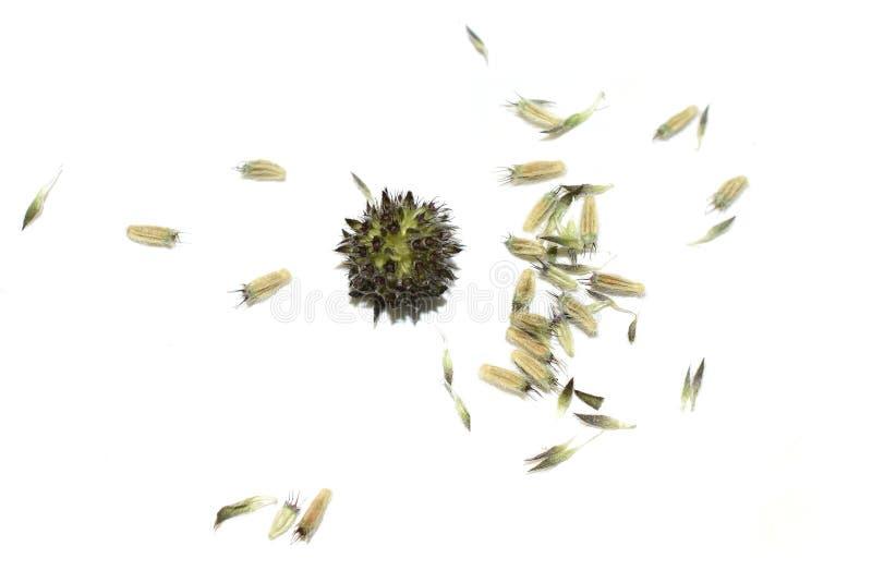 Devil's bit scabious Succisa pratensis seed royalty-vrije stock afbeelding