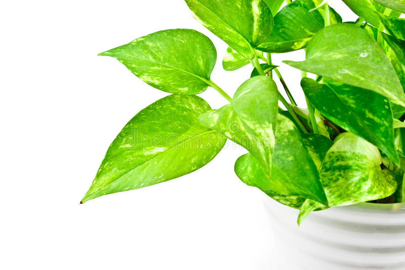 Devil's ivy plant. Devil's ivy has many name : Ivy-Arum,Golden pothos, Hunter's-robe stock images