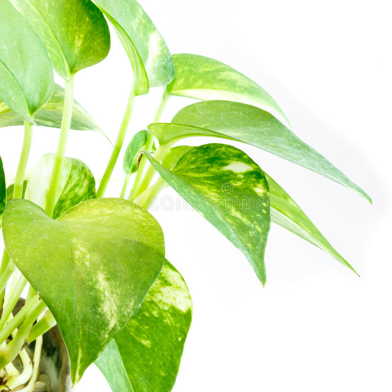 Devil's ivy plant. Part of Devil's ivy plant isolated on white background, It has many name : Ivy-Arum,Golden pothos, Hunter's-robe royalty free stock photo