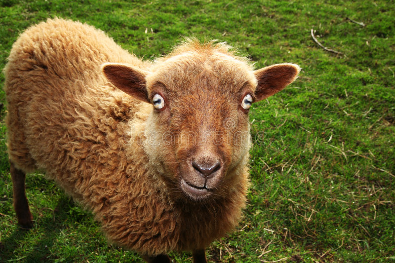 Devil sheep stock image