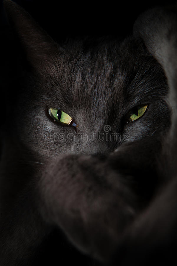 Devil spooky cat eyes. A gray cat in the dark. Threatening and scary look stock images