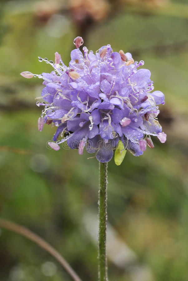 Devils-bit Scabious. Succisa pratensis With Morning dew royalty free stock images