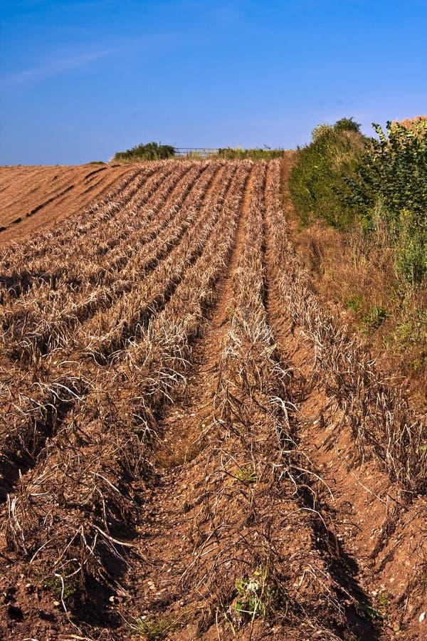 Download Devon Potato crop farming stock photo. Image of fruit - 11030084