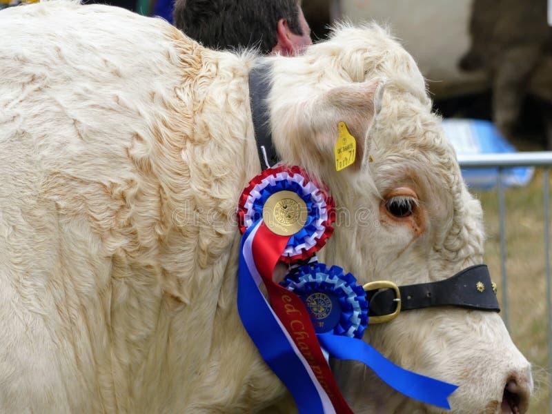 Devon, Reino Unido - 30 de julho de 2018: Um touro que veste orgulhosamente seu melhor em rosetas da raça fotos de stock