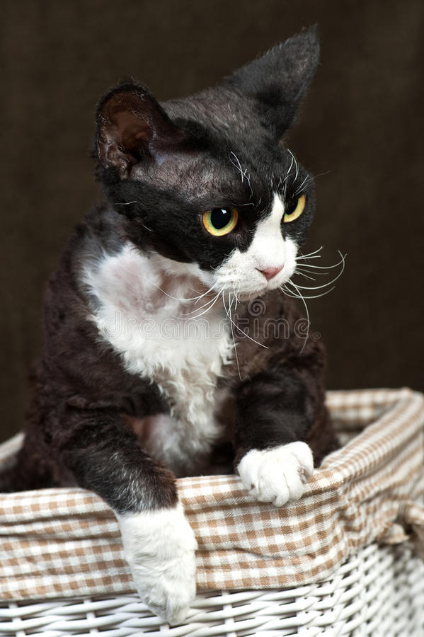 Download Devon Rex stock photo. Image of game, domestic, characteristic - 23383018