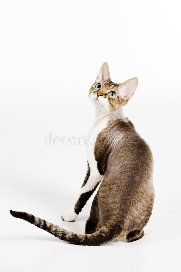 Download Devon rex stock photo. Image of pets, staring, hair, looking - 5066736