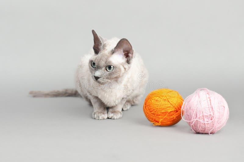 Download Devon Rex cat stock photo. Image of characteristic, pedigree - 23382958