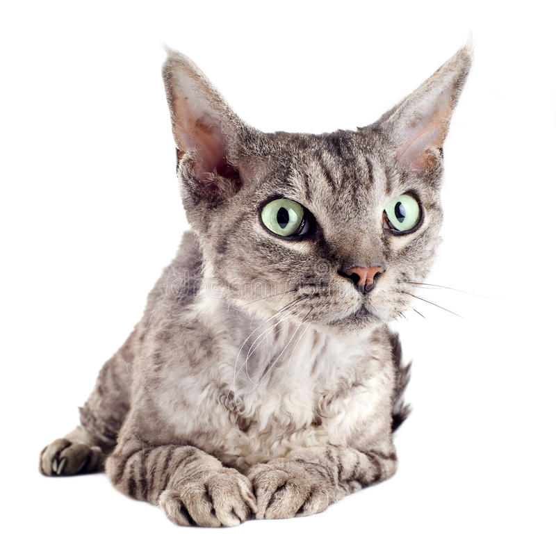 Download Devon rex cat stock image. Image of gray, shorthair, lying - 26324133