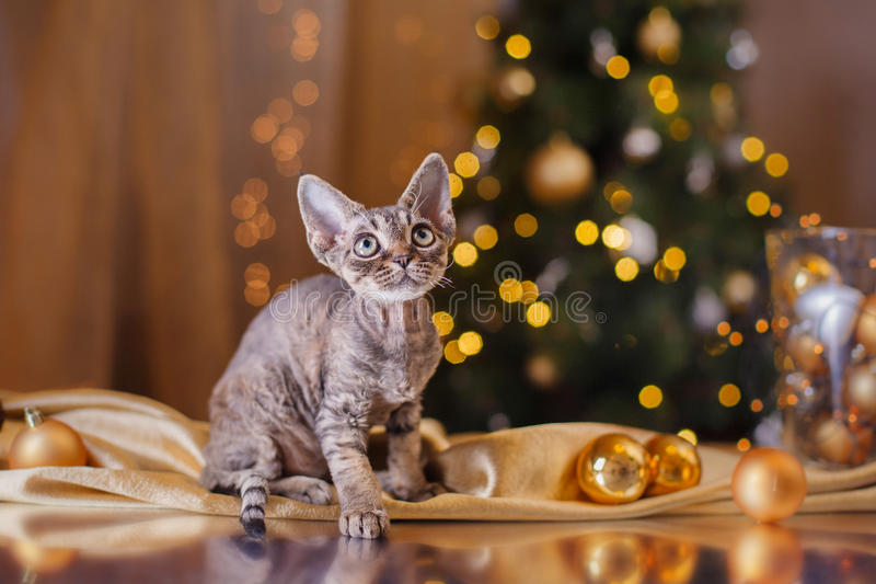 Devon Rex cat, Christmas and New Year stock photo