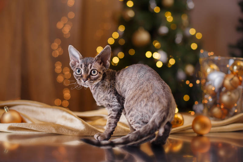 Devon Rex cat, Christmas and New Year stock photography