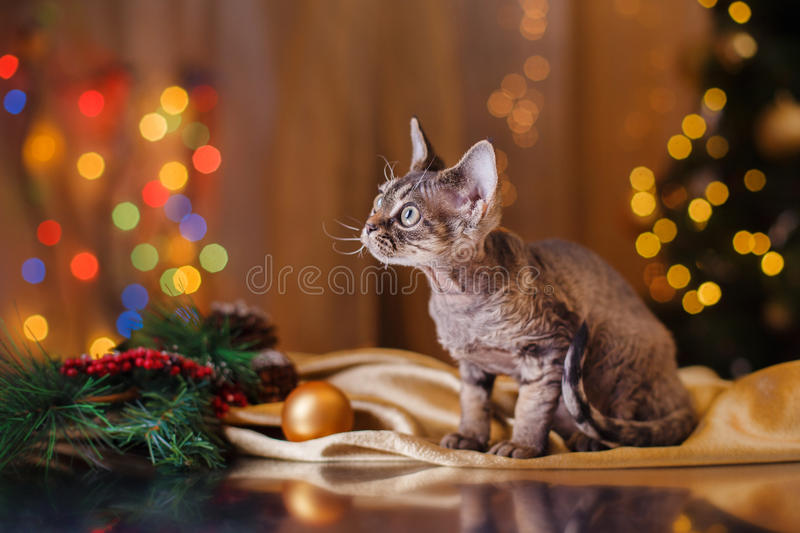 Devon Rex cat, Christmas and New Year. Portrait beautiful cat on a color background stock image