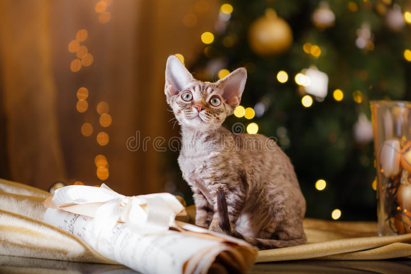 Devon Rex cat, Christmas and New Year stock image